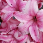Hyacinths…